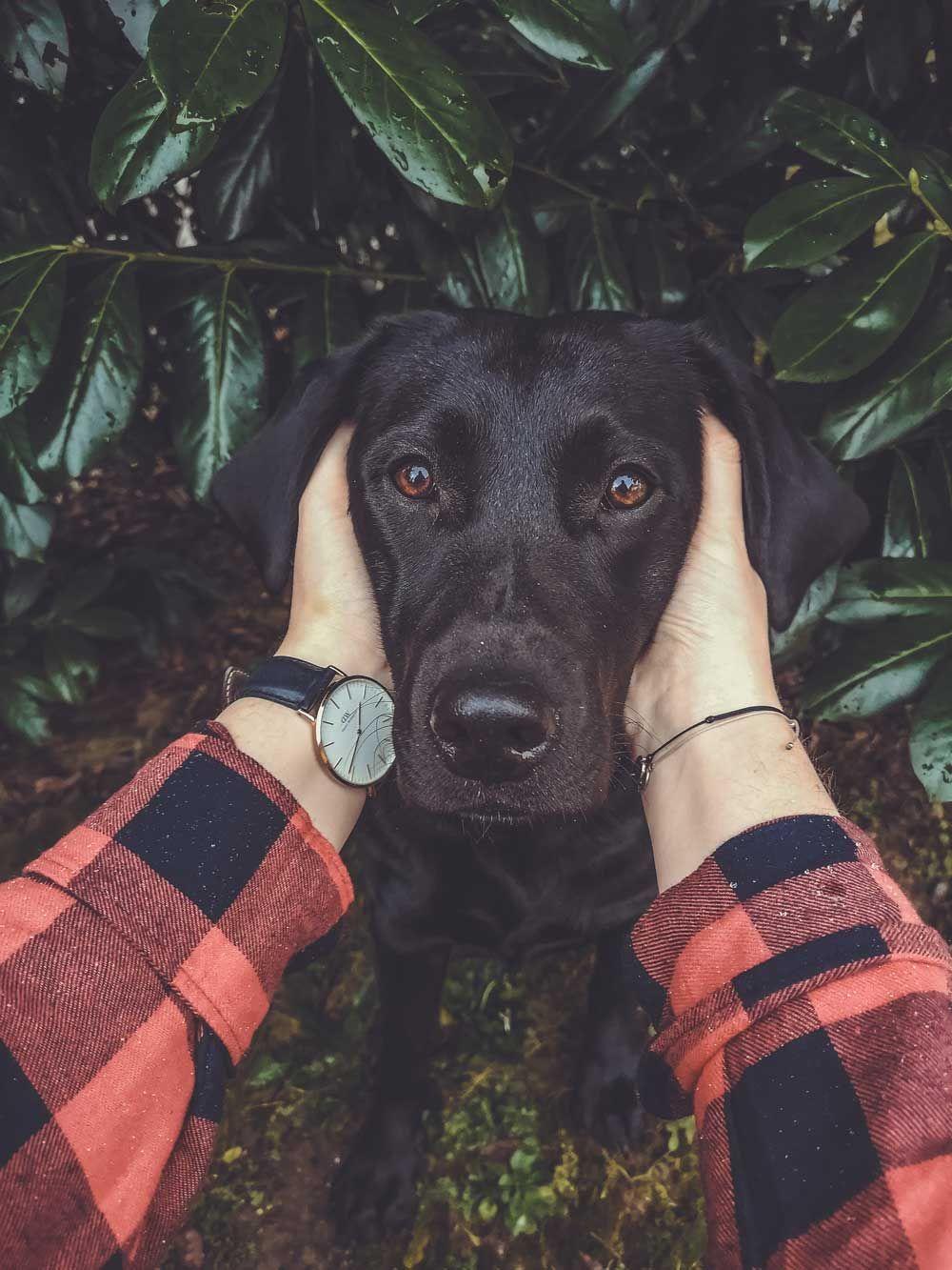 Pin Von Kiki Mensch Hund Coaching Auf Labrador Liebe Hunde Labrador Retriever Laufigkeit