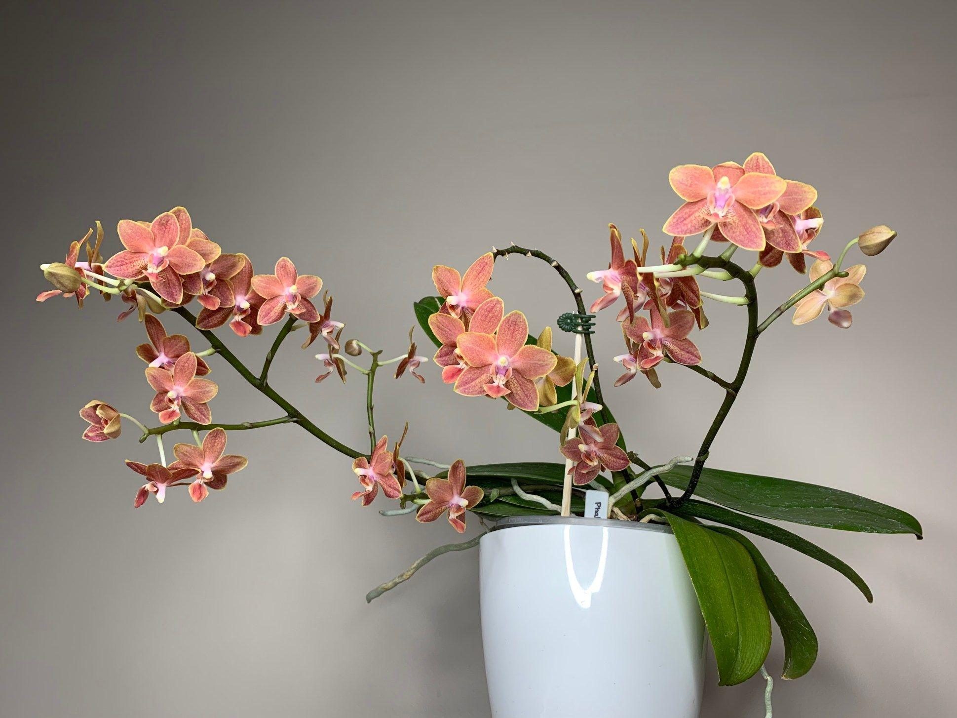 How we grow - Orchids in Calgary, Alberta, Canada » Here—But Not #growingorchids