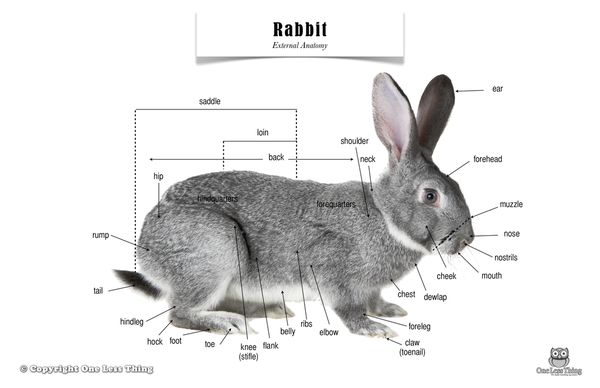 Rabbit anatomy rabbit body parts clear picture of the different rabbit anatomy rabbit body parts clear picture of the different body areas of a rabbit description from pinterest i searched for this on bing ccuart Choice Image
