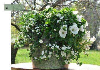 potee fleurie 5 petunia blanc bacopa compositions dans poteries pinterest petits jardins. Black Bedroom Furniture Sets. Home Design Ideas