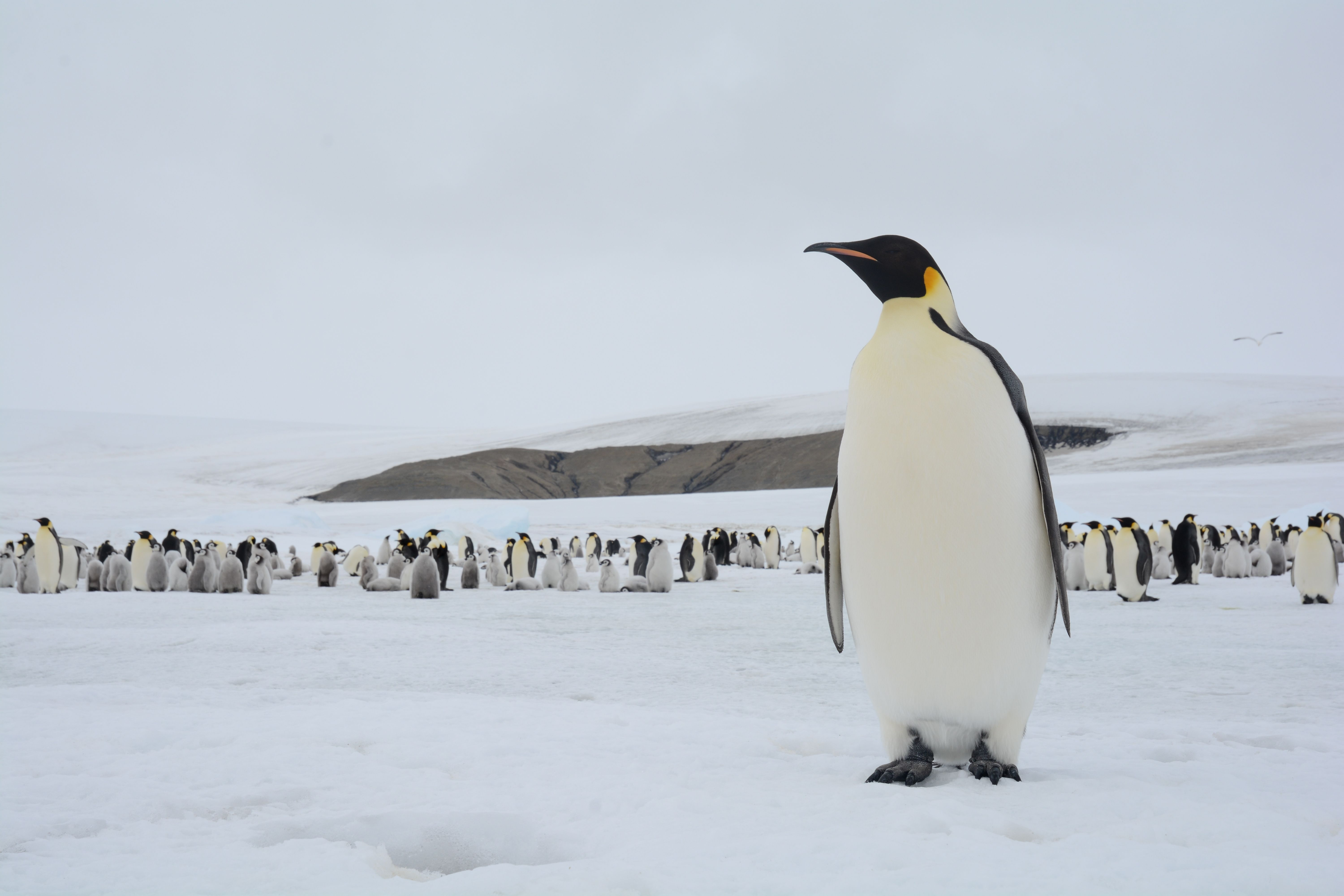 A Beautiful Picture Of An Emperor Penguin On Snow Hill