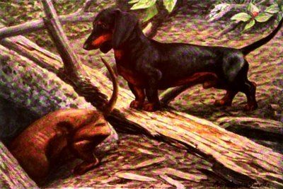 The Hunt The Doxie Or The Badger The Doxie Of Coarse