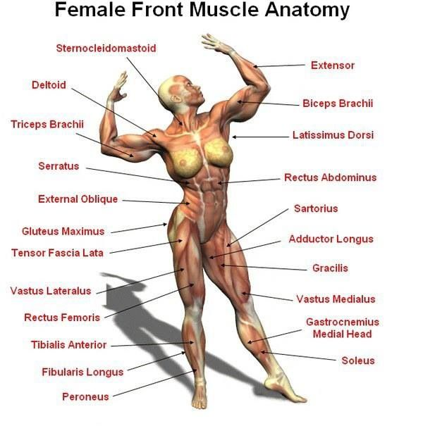 Front muscle anatomy | Fitness Motivation | Pinterest | Muscle ...