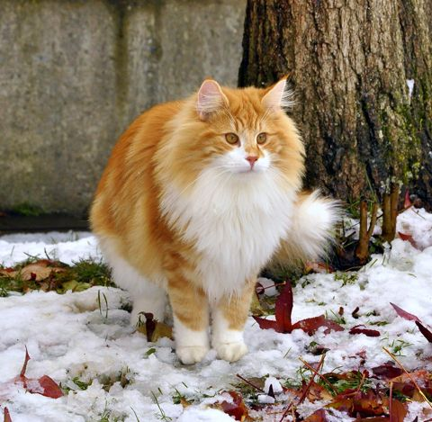 NORWEGIAN FOREST CAT - RED WITH WHITE | NORWEGIAN FOREST ...