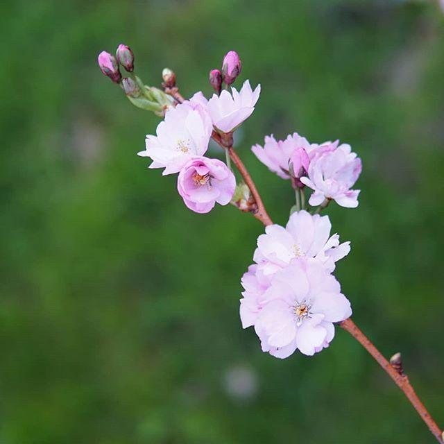 kirsikka kukka porno