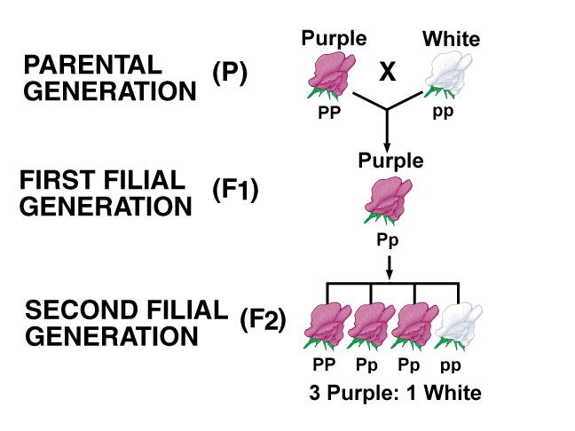 relationship between p1 f1 and f2 generations definition