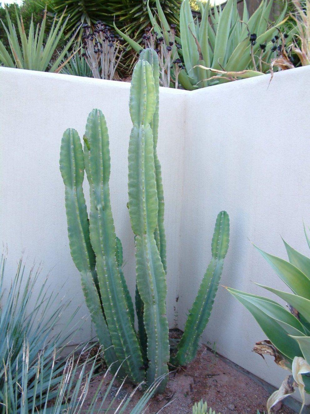 Cereus Peruvianus Da Scrivania