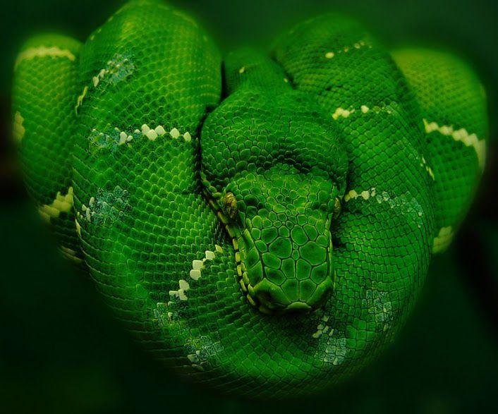 Emerald Green, Tree Boa constrictor | Emerald tree boa, In the zoo, Reptiles and amphibians
