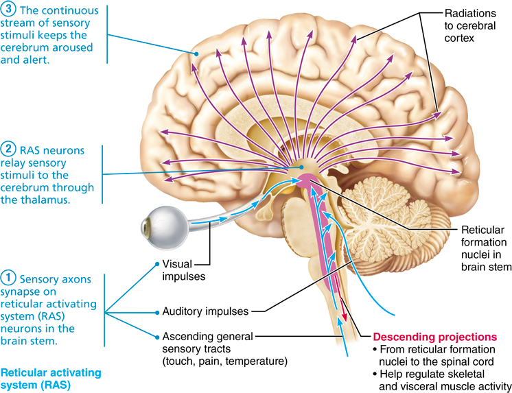 12 6 Functional Brain Systems Span Multiple Brain Structures Brain System Brain Structure Brain Stem