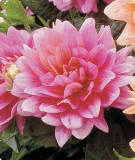 Border Dahlia Bluesette Bulb Flowers Wholesale Flowers Flowers