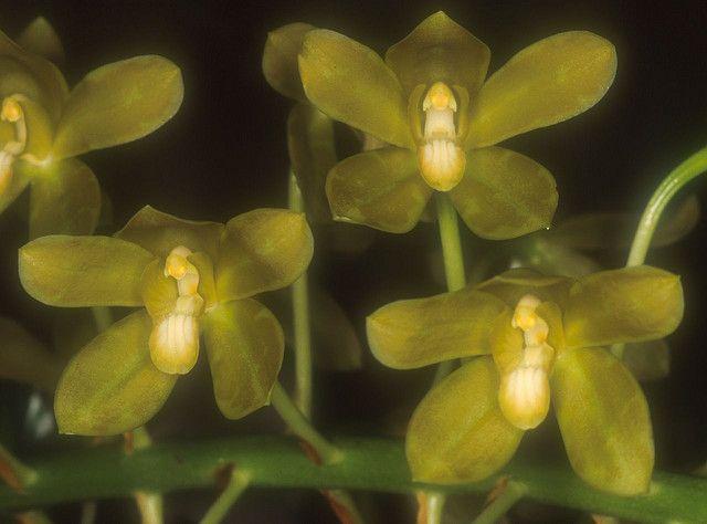 Grammatophyllum scriptum albescens