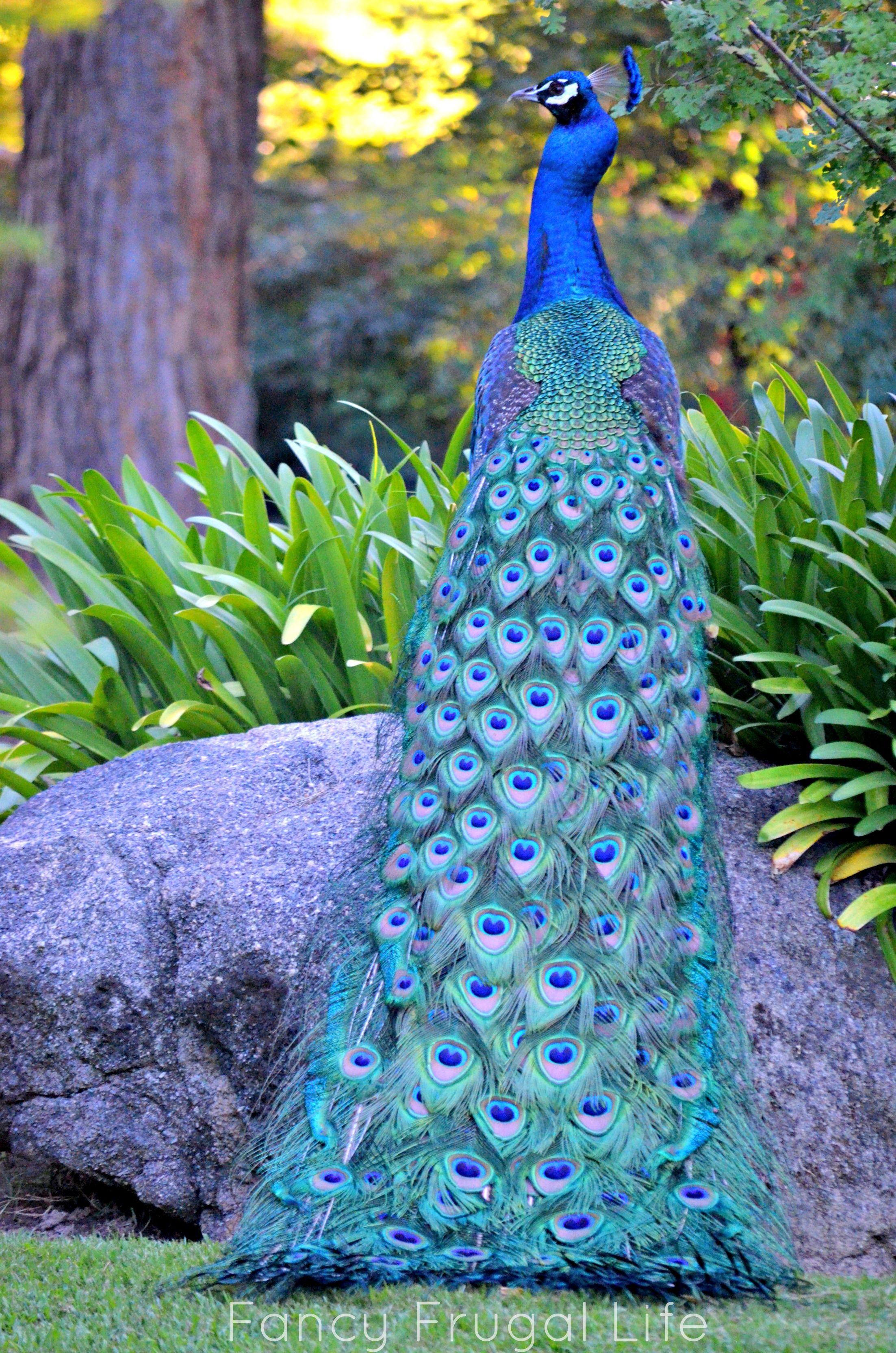 India-Blue Peacock [Pavo cristatus] - Just turning the ... - photo#14