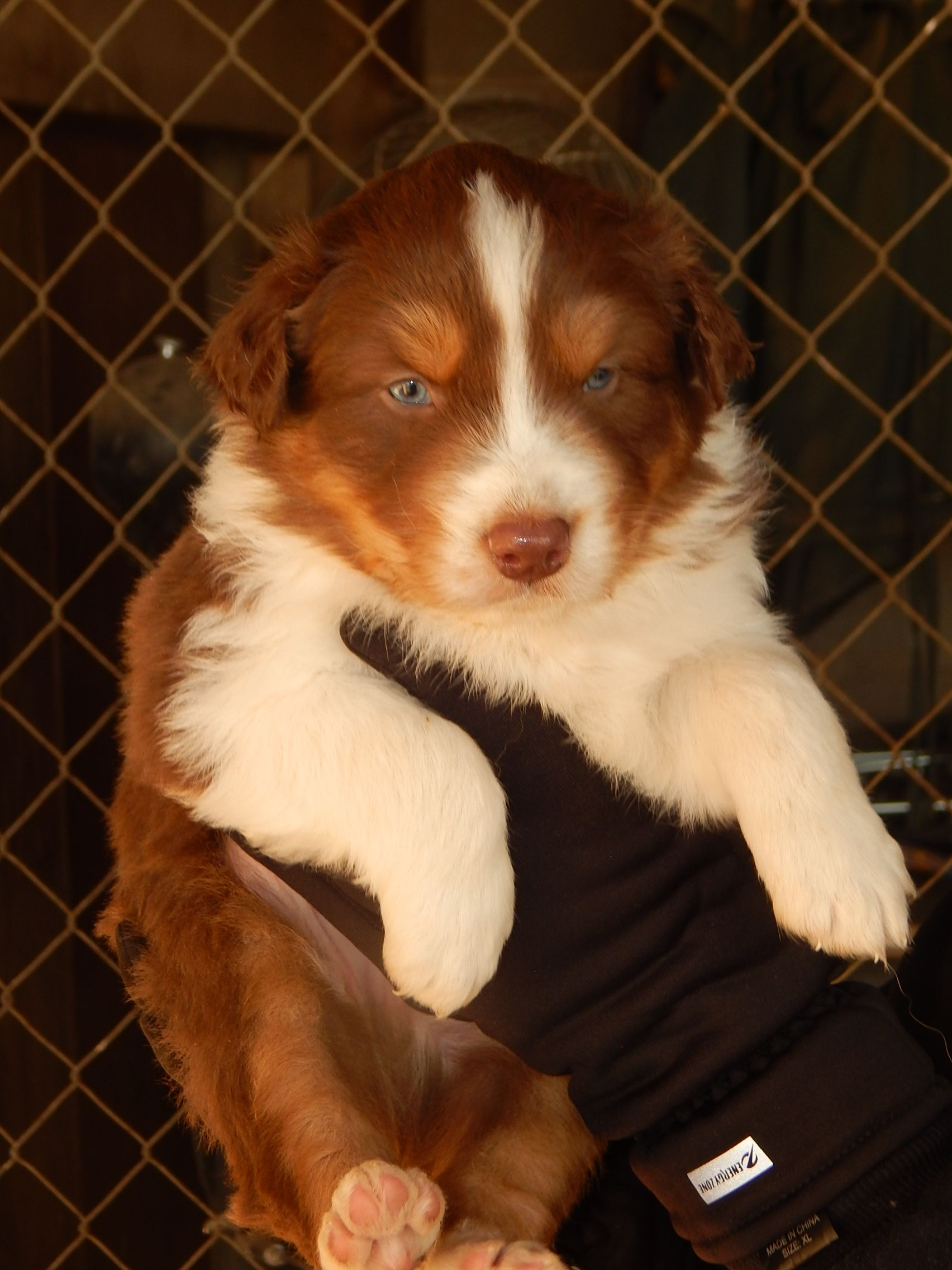 Red Tri Male Australian Shepherd Puppy Puppy Friends Australian