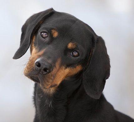 Austrian Black and Tan Hound Puppy Dog Puppies Dogs Pup Österreichische glatthaarige Bracke, Vieräugl, Brandlbracke