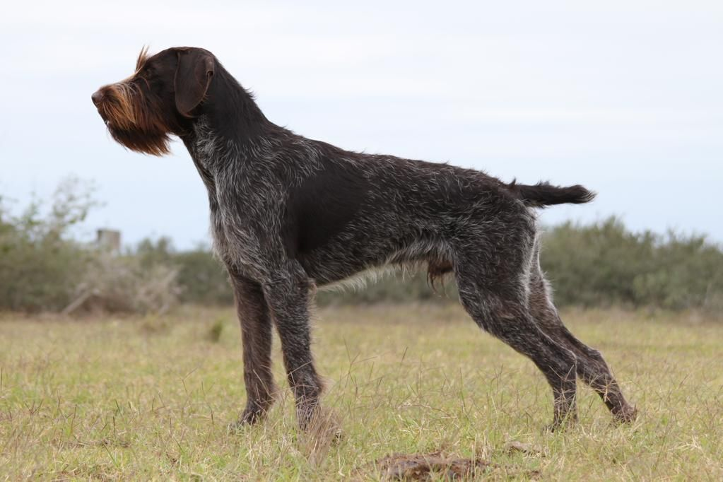 Hunting Breeds On Twitter Animal Photography Dogs Dog Breeds Dogs