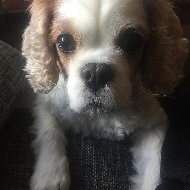 Hi. I'm here. #hello #sup #mondaymonday #hund #cassie #cassiethecavalier #cavalier #cavalierkingcharlesspaniel #ckcs #blenheim #cavaliersofinstagram #cavlife #instacav #nyc #harlem #puppygirl #love #poundpuppy #dogsofnyc #dogsofig @smithespis