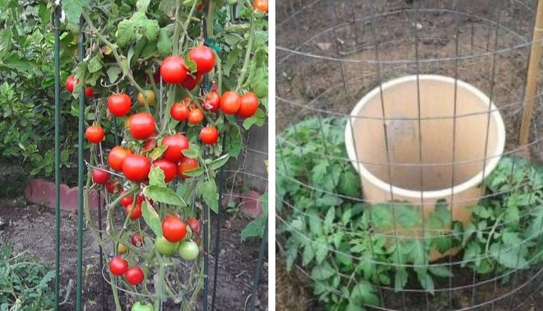 10 Steps To Get 50 80 Pounds Of Tomatoes From Every Plant You Grow Easy Care Plants Growing Vegetables Low Maintenance Plants