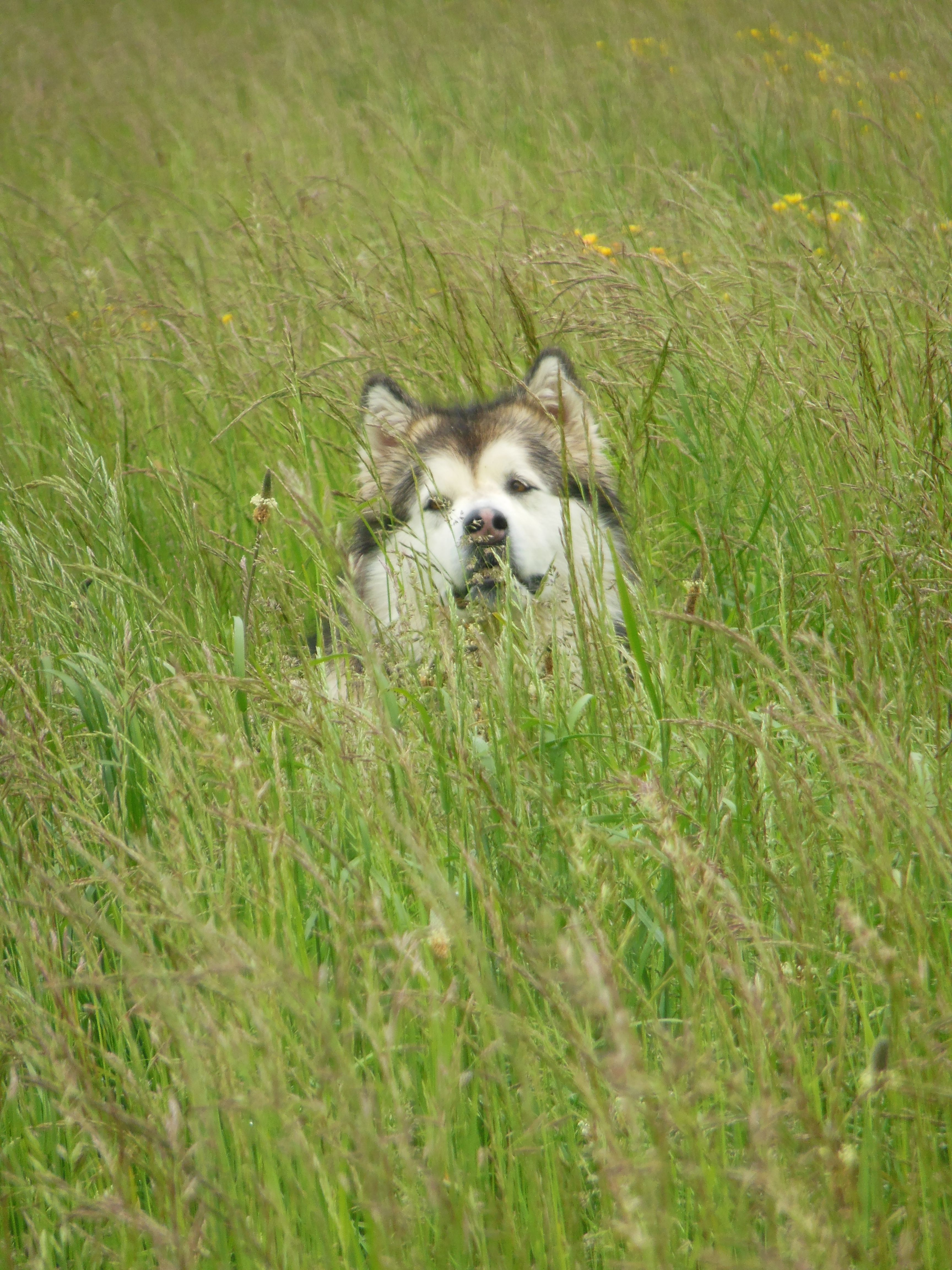 Terra Out On Her Morning Walk Hiding In The Tall Grass Malamute