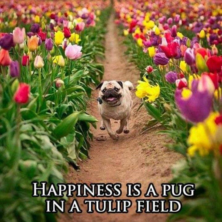 Pug + flowers = love