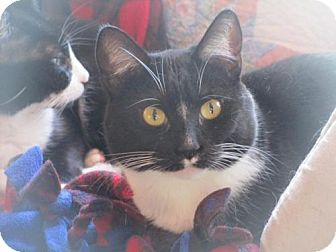 St Paul Mn Domestic Shorthair Meet Sweet Pea A Cat For