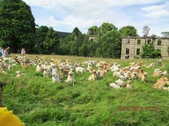 Taken In Scotland This Is A Group Picture Of A Golden Retriever