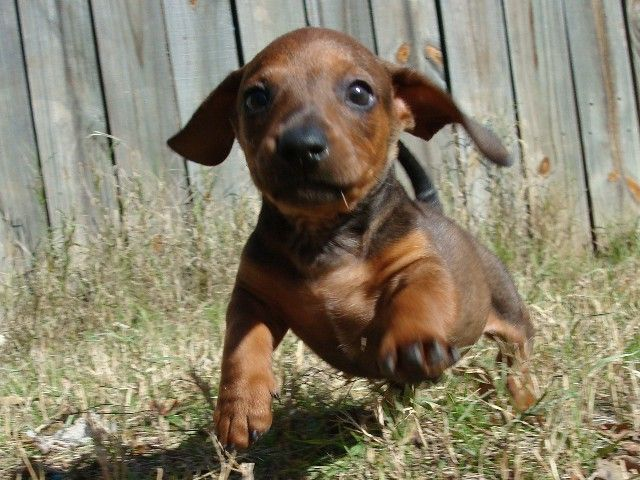 Mini Dachshund Puppies Akc Registered Miniature Dachshund