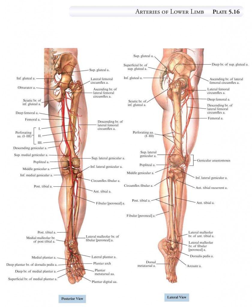Image Result For F Netter Leg Proboard