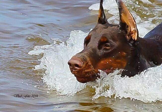Swimming Doberman