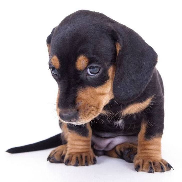 Dachshund Names Cute Male Female Doxie Naming Ideas Wild Dogs