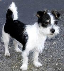 Jack Russell Terrier Mix Shih Tzu Shih Tzu Puppy Shih Tzu
