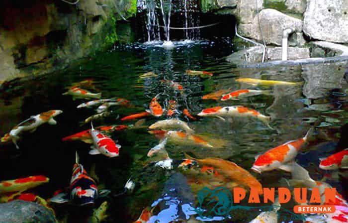 Beternak Ikan Cupang Koi