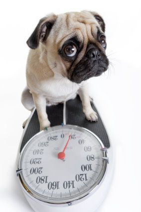 Overweight Dogs Overweight Dog Pugs Dogs