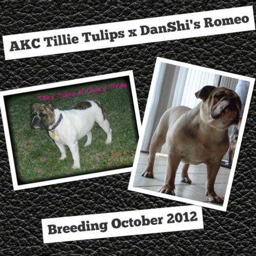 Danshi K English Bulldog Puppies Bulldog Puppies French Bulldog