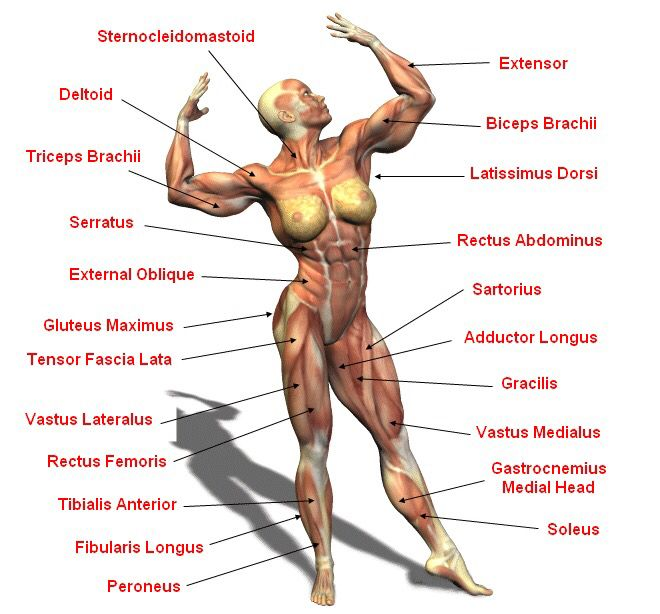 Female Muscular System Anatomy Pinterest Muscular System