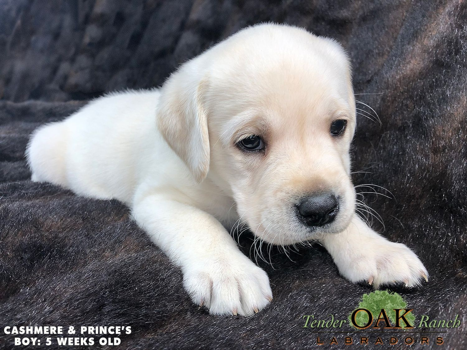 Labrador Puppies For Sale In San Diego Labrador Puppies For Sale Labrador Puppy Lab Puppies