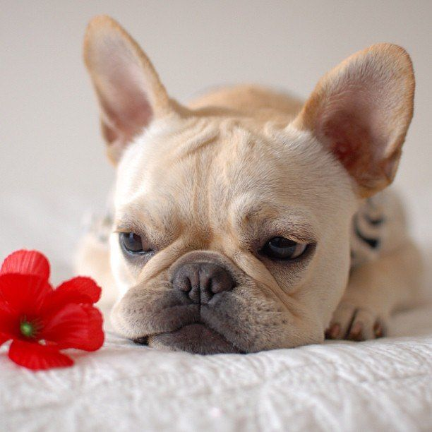 French Bulldog Puppy And Red Flower Q What Do You Get If You
