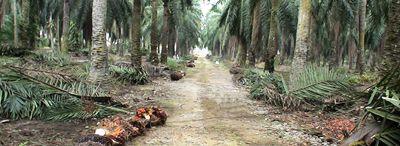 - Gabón. Palma. Tradicionalmente, la palma aceitera siempre formó parte de la cultura de las comunidades de África occidental y central, que la plantaron en sus tierras y recogieron sus frutos, hojas y savia. Procesaban los frutos para obtener aceite de palma para su uso doméstico