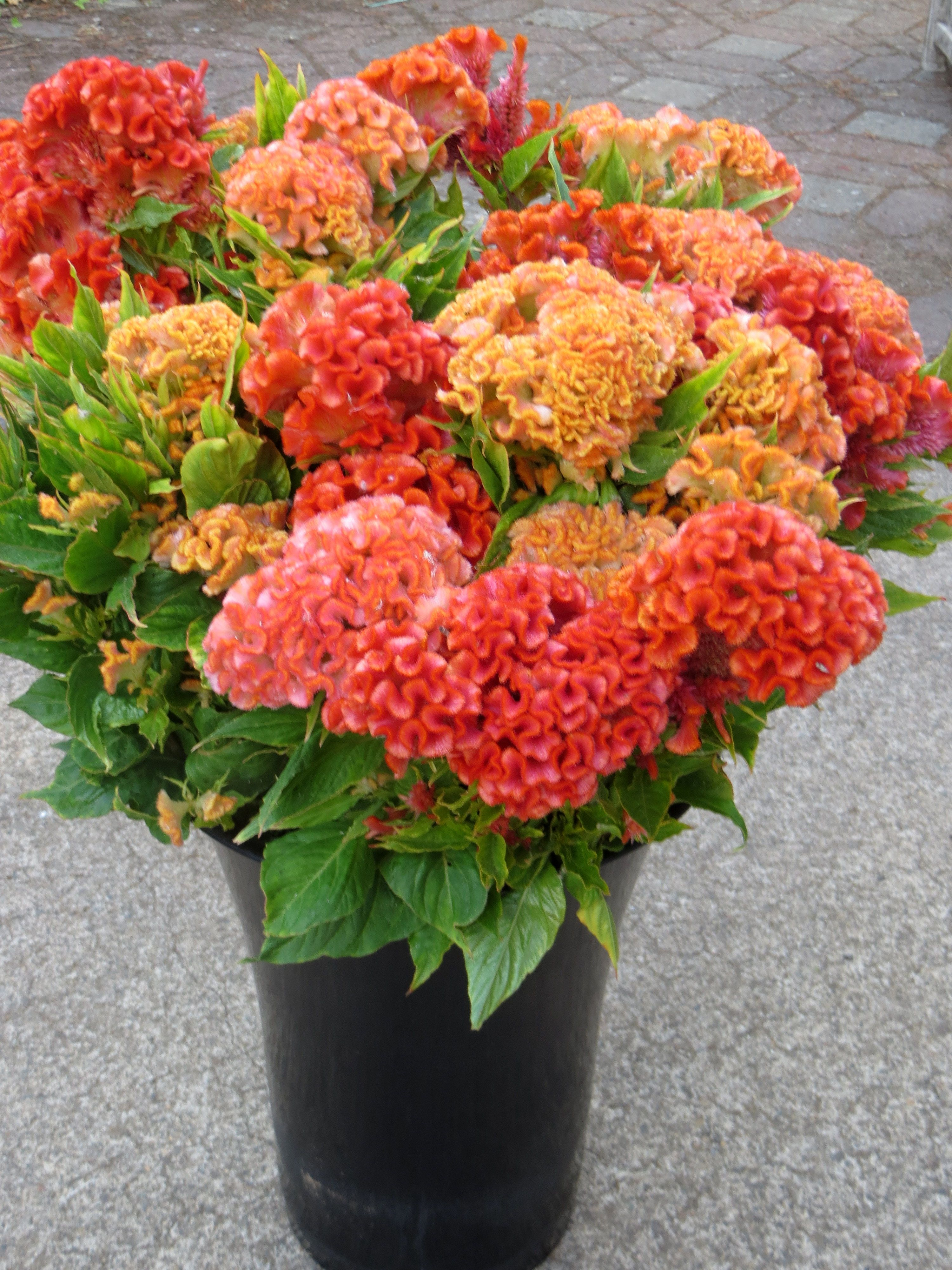 Celosia Cristata Or Cockscomb In Colors Of Oranges Salmons And