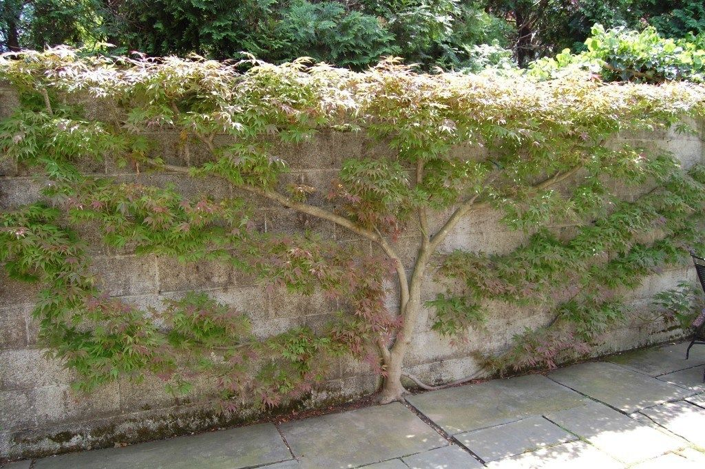 A Talented Princeton Gardener Espaliers Japanese Maples Acer