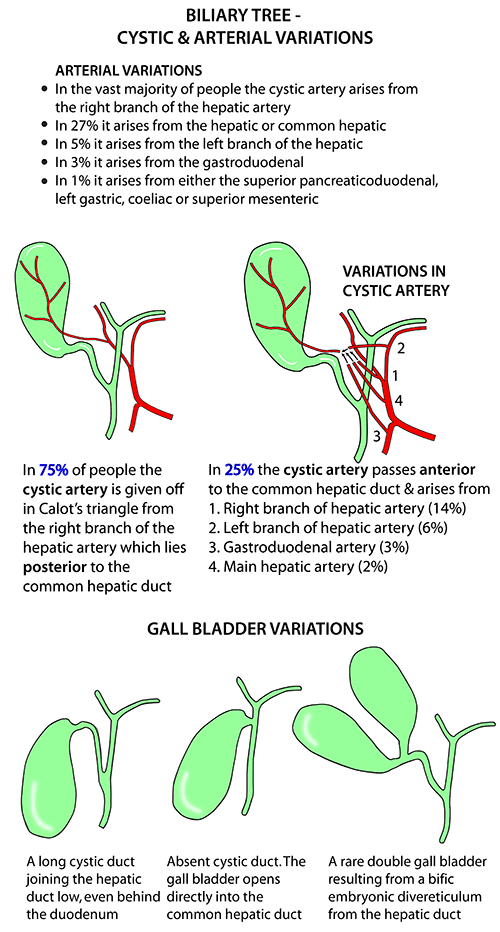 Gall Bladder Arterial Cystic Duct Variations Abdomen And Pelvis
