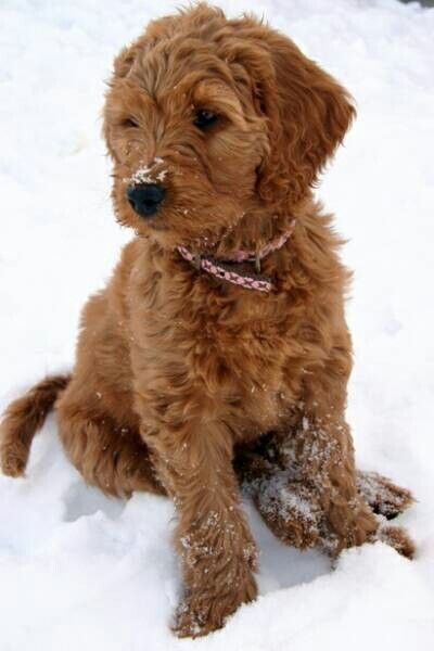 How Can You Resist This Face I M Getting A Labradoodle Red