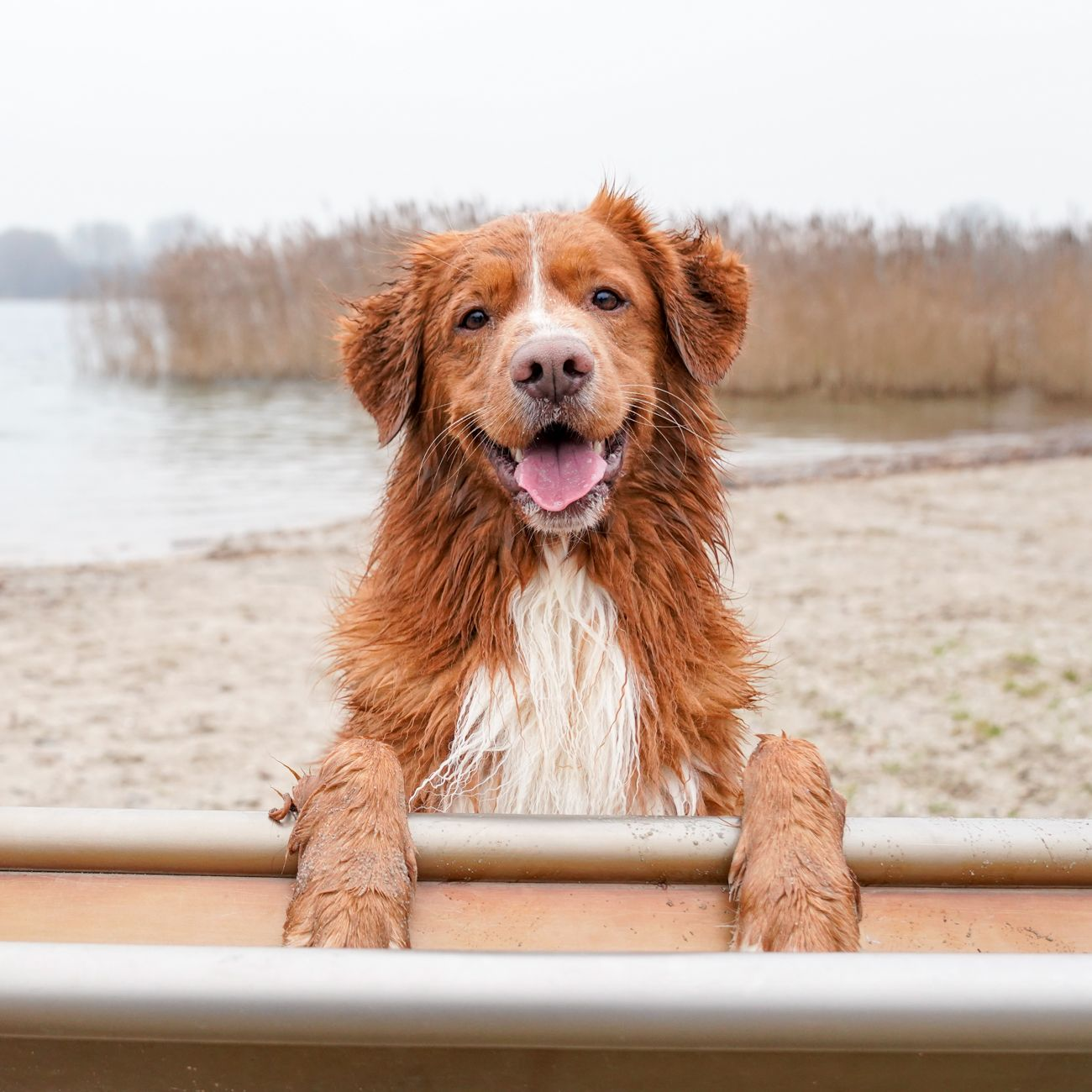 Pin By Kay On Dog Dogs Nova Scotia Duck Tolling Retriever Cute