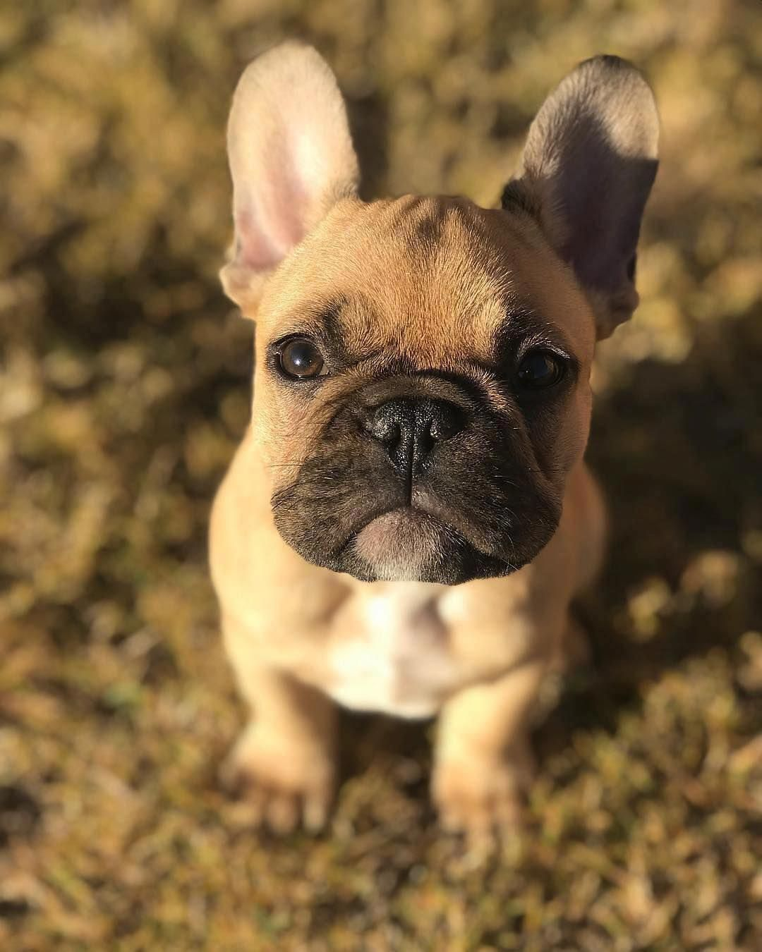 Bulldog Calm Courageous And Friendly French Bulldog Puppies