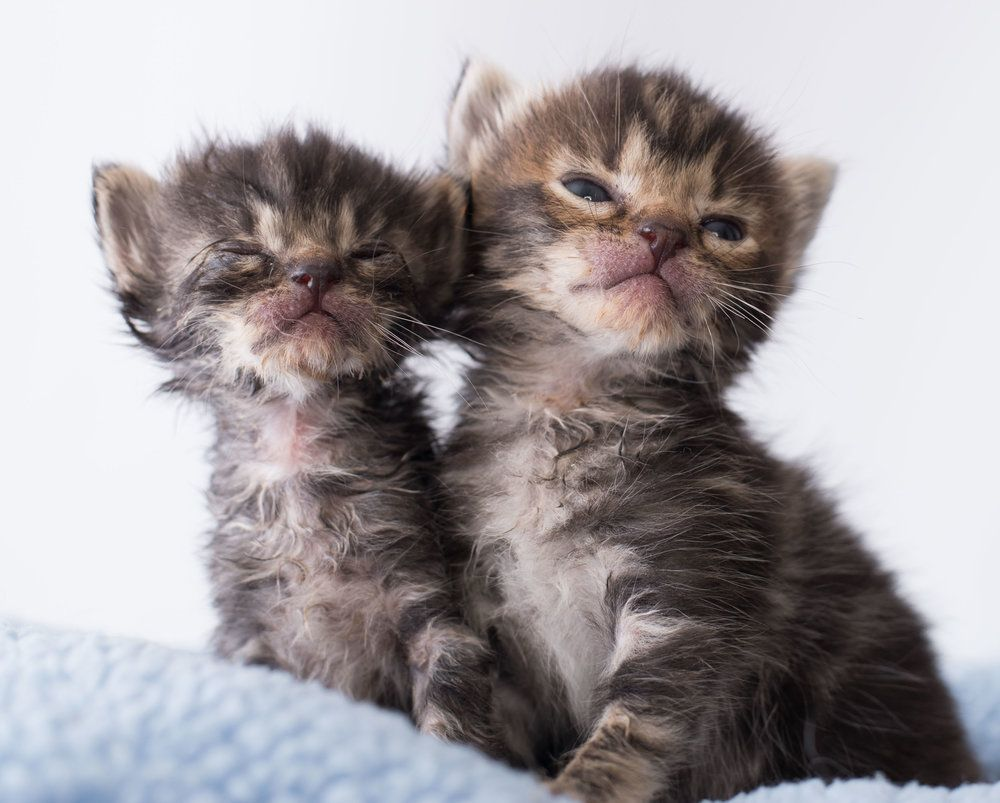 Kitten Uris Observation Symptoms Treatments Precautions Expectations Upper Respiratory Infections I Kittens Cats And Kittens Upper Respiratory Infection