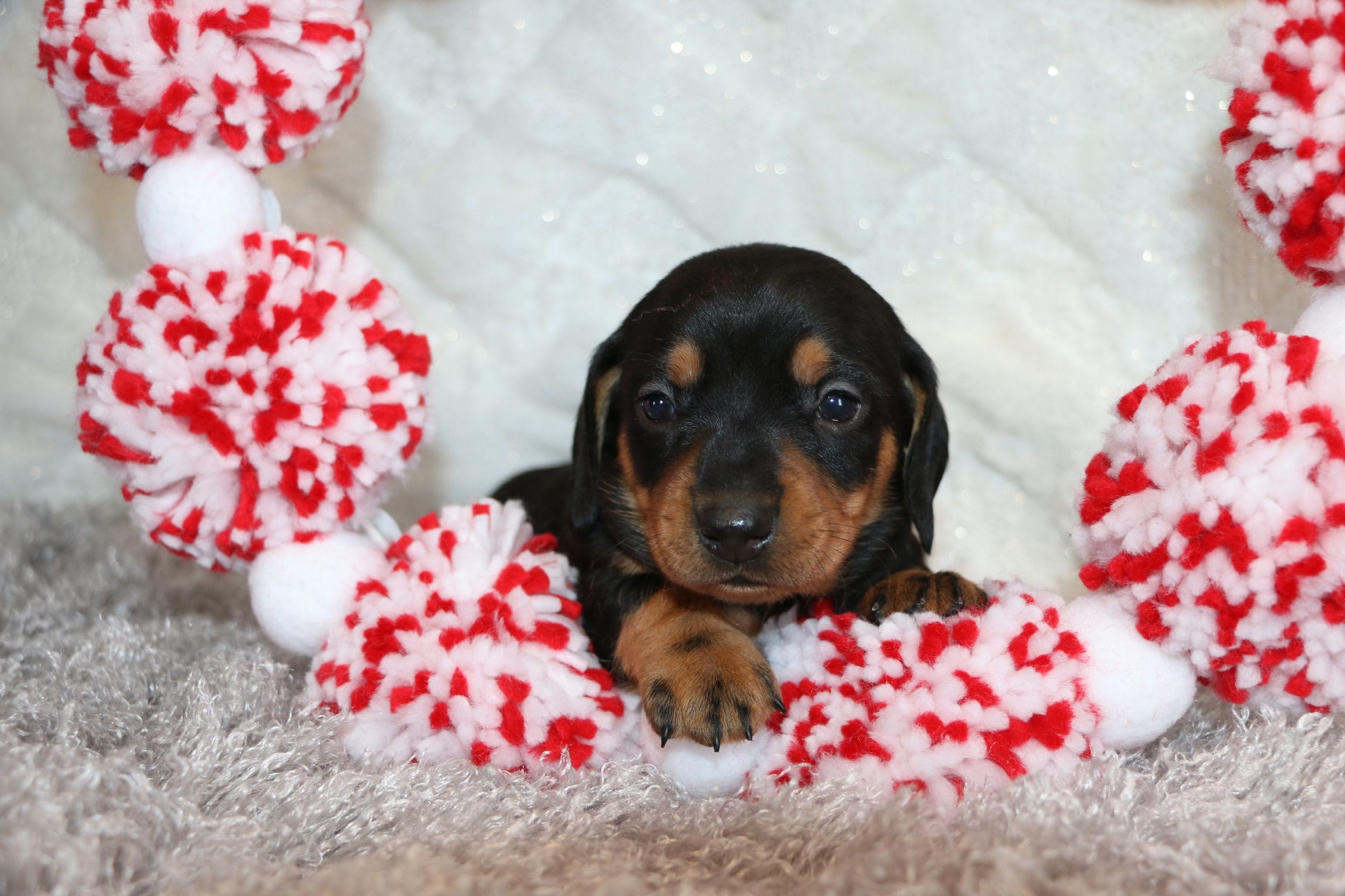 Lively Playful And Clever Are Only A Few Words Used To Describe These Adorable Weinerdogs The Minidachsh Mini Puppies Puppies Puppies For Sale