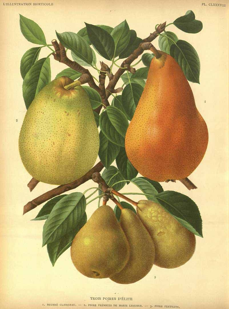Pears - Pyrus communis - circa 1893 | Vegetables, Fruits, and Nuts ...