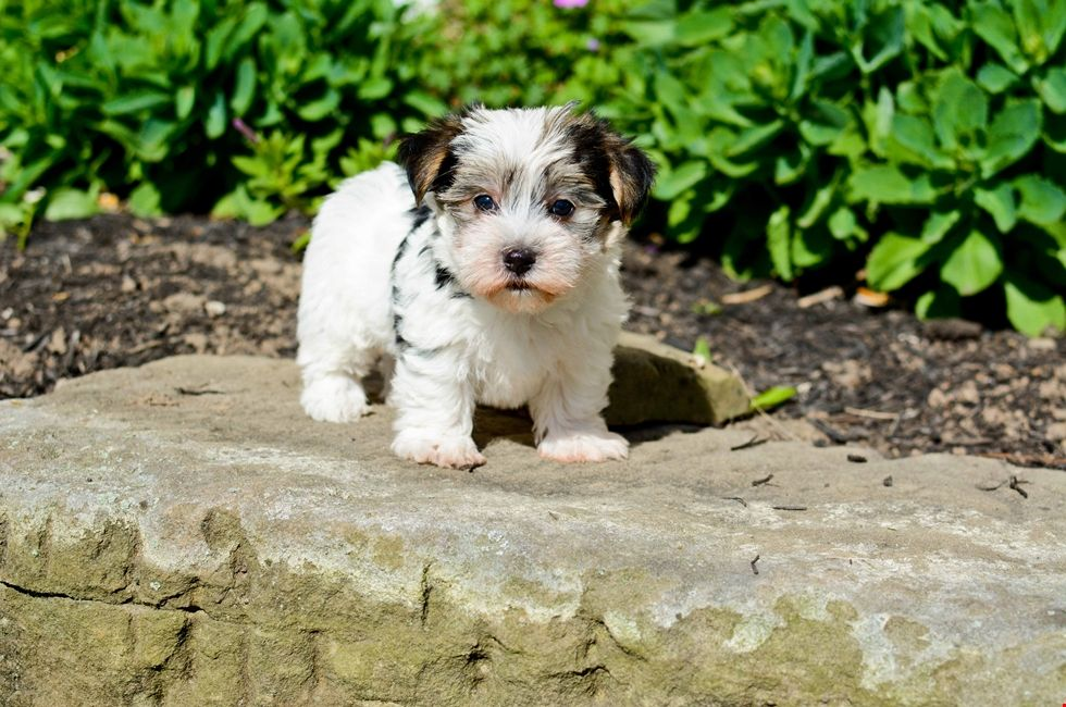 Morkie Puppies For Sale Online Morkie puppies, Morkie