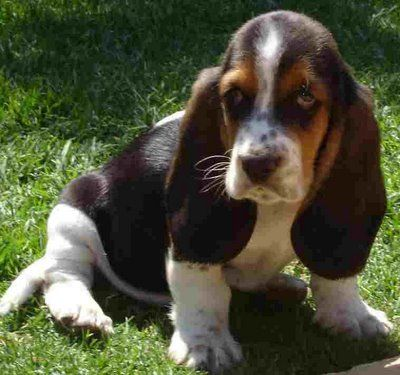 Basset Hound Puppies Have To Be The Freaking Most Cutest Puppies