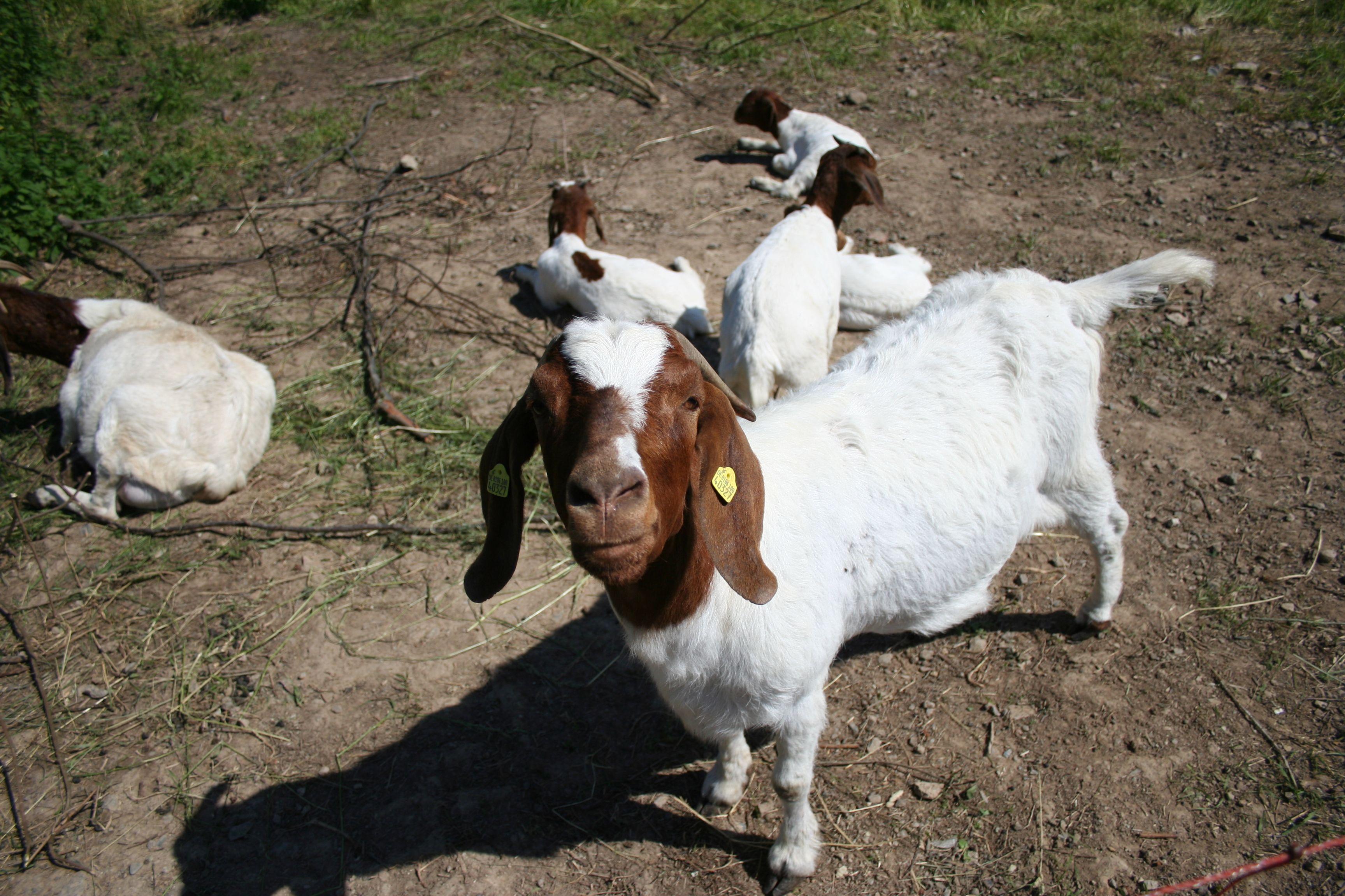 5 Grunde Warum Du Auf Keinen Fall Ziegen Halten Solltest Ziege Haustiere Tiere