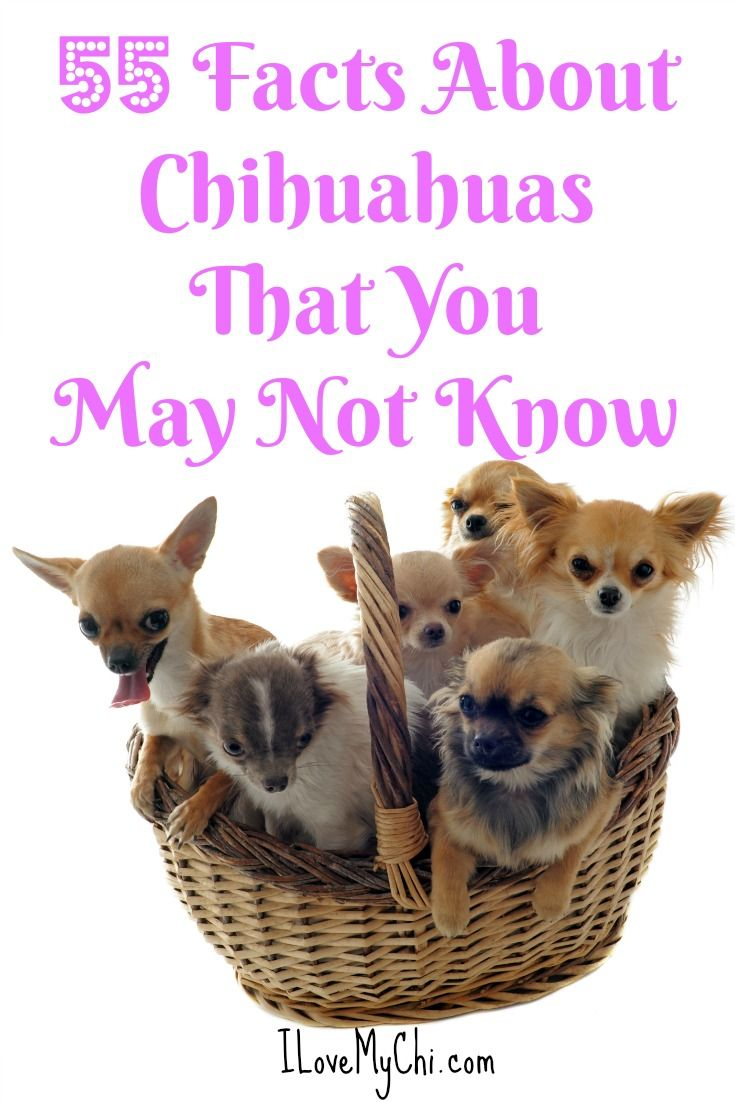 55 Facts About Chihuahuas That You May Not Know Chihuahua